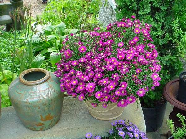 Aster in Pot_2