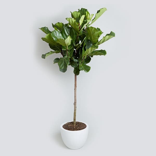 Fiddle Leaf Fig Tall Houseplants