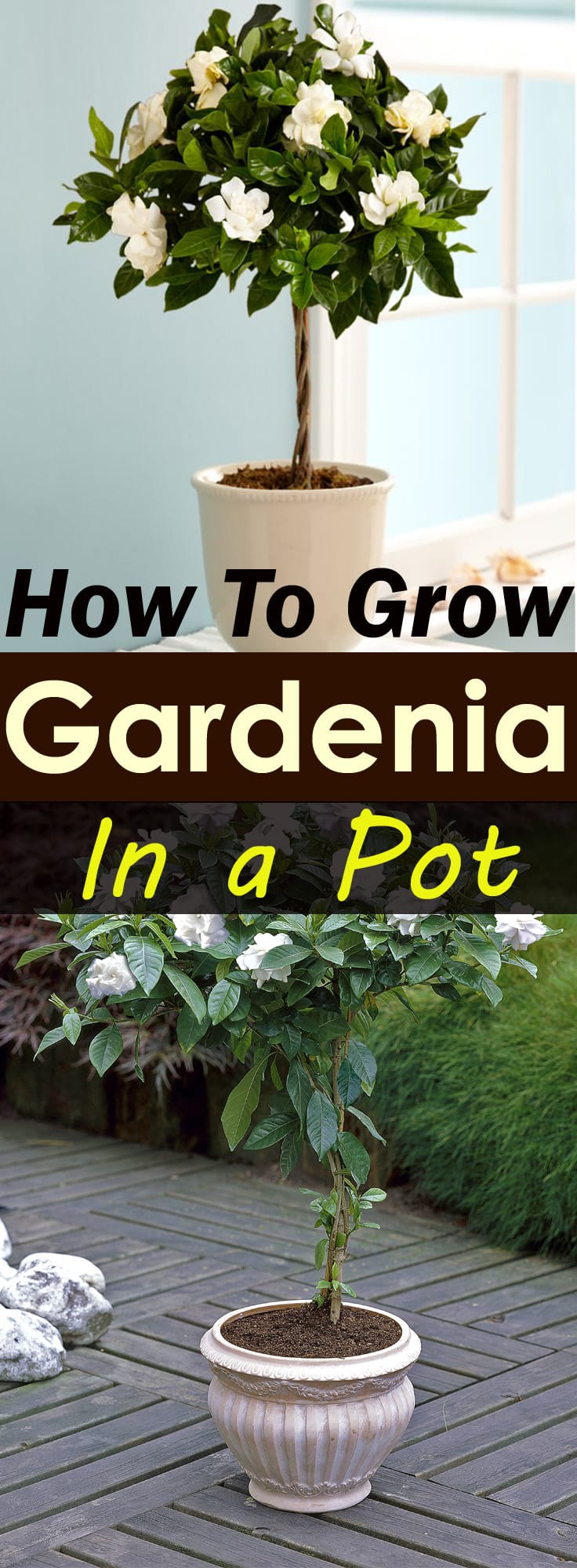 Growing Gardenias In Pots Require Some Care And Attention But They Worth That As Are