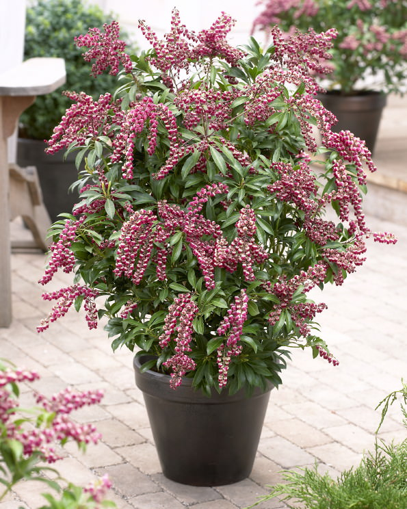 Anese Pieris Pion 2