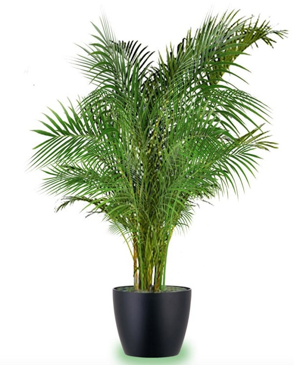 Indoor Palms Are The Most Common Large Houseplants They Quite Undemanding And Many Of Them Grow Well In Exposure To Part Or Indirect Sun
