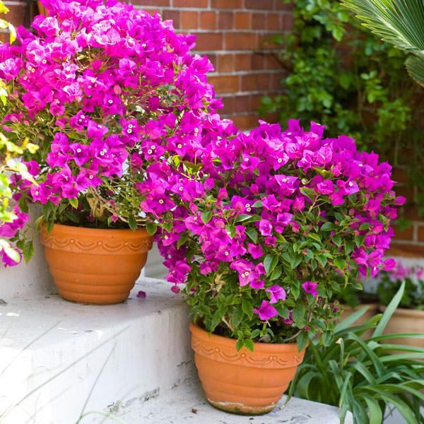 Bougainvillea In Pot