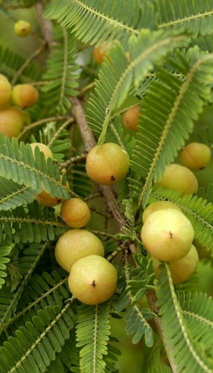 growing amla tree (3)