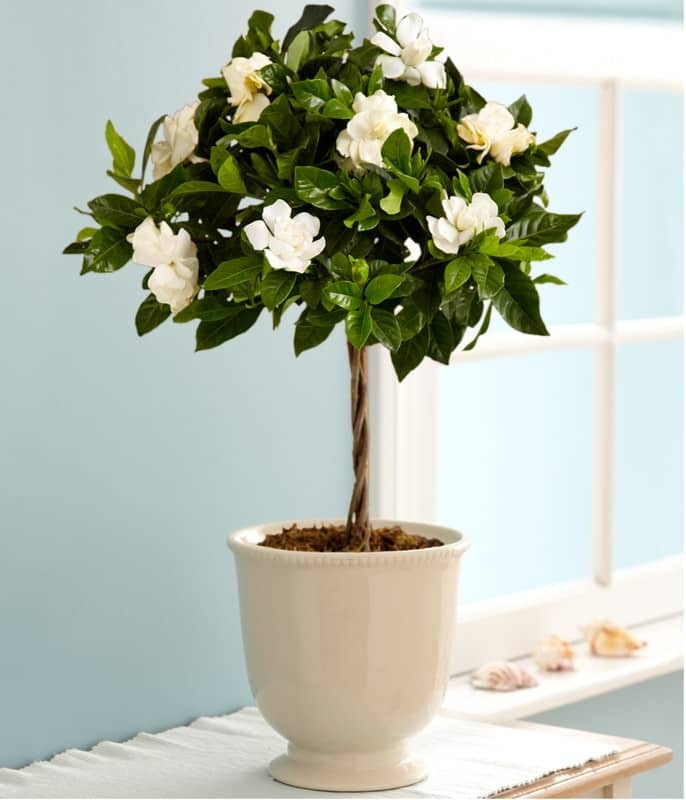 growing gardenias in pots