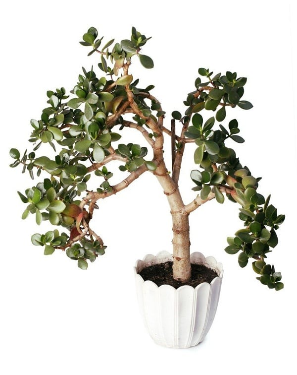 18 Best Large Indoor Plants | Tall Houseplants for Home ...
