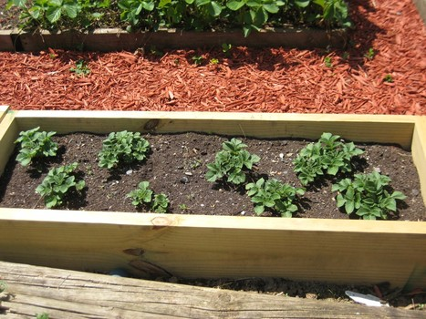 Grow Potatoes in a Raised Bed
