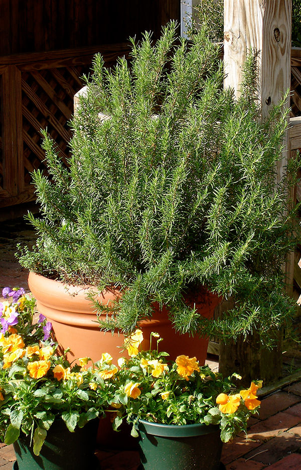 rosemary-in-container-lo