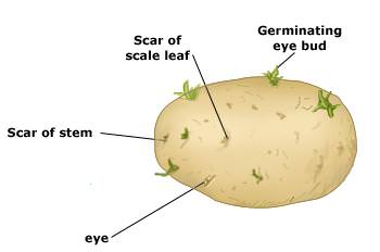 how to get seed potatoes