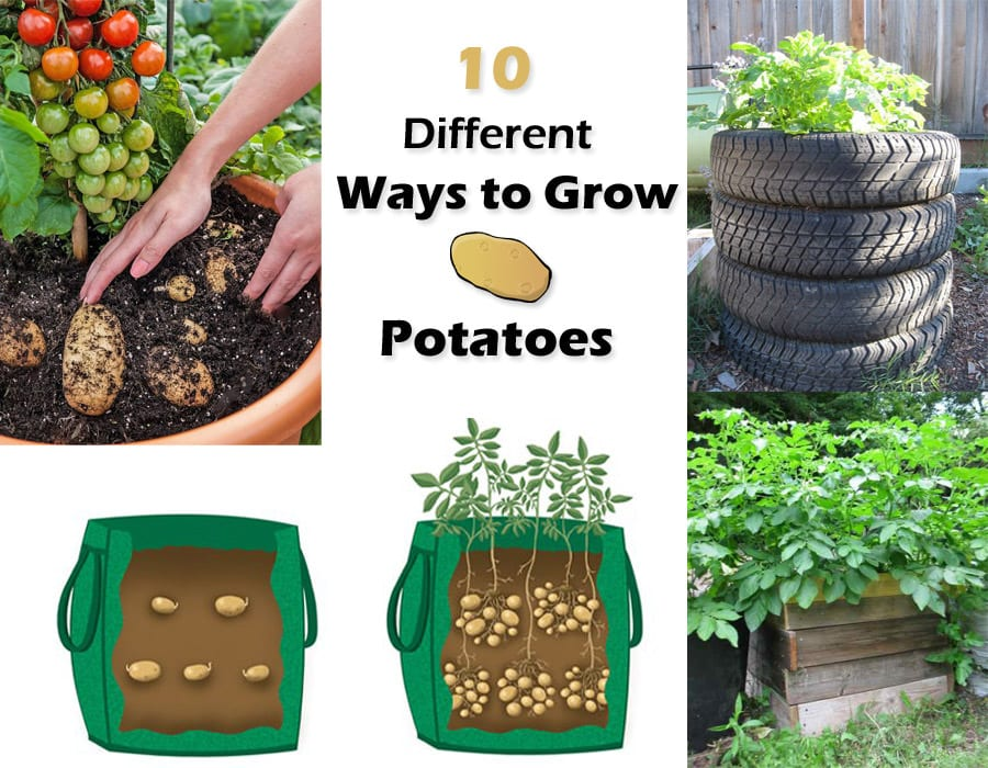 10 Ways To Grow Potatoes Potato Planting Ideas Balcony