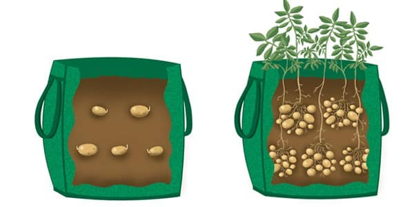 Grow potatoes in grocery bags