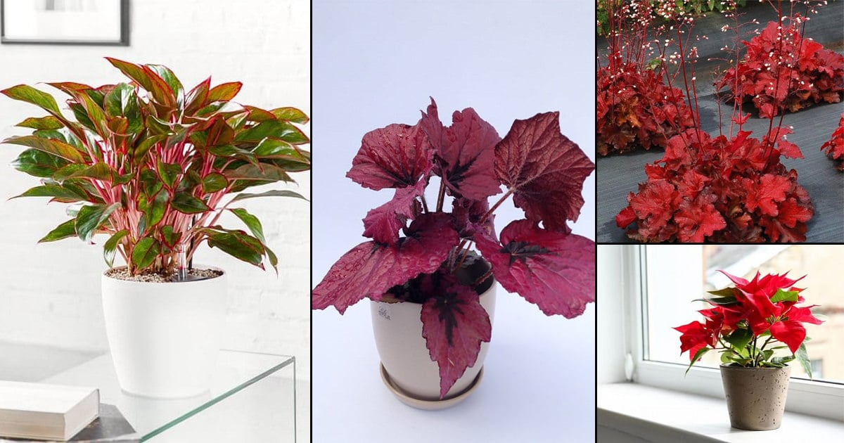 15 Impressive Red Indoor Plants Houseplants With Red Leaves