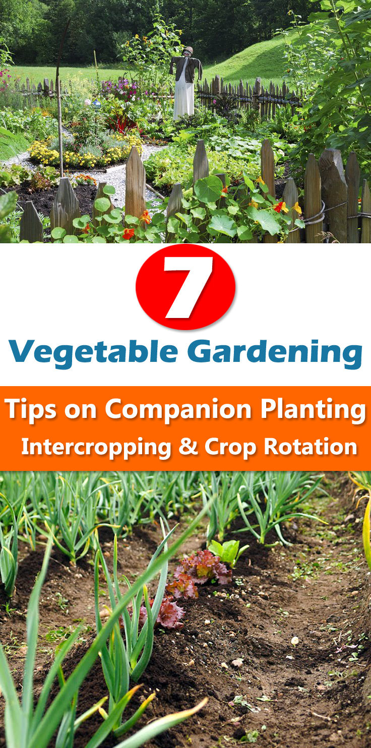 7 Vegetable Gardening Tips On Companion Planting, Intercropping U0026 Crop  Rotation