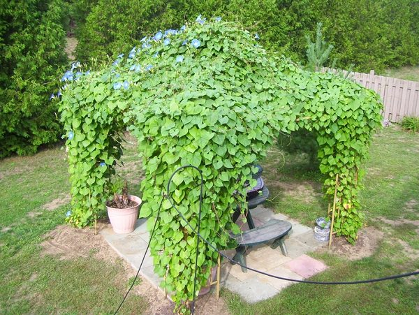 19 Best Pergola Plants Climbing Plants For Pergolas
