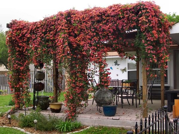 Crossvine on pergola - 19 Best Pergola Plants Climbing Plants For Pergolas And Arbors