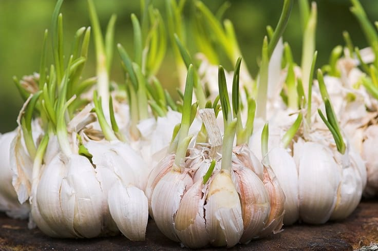 Garlic uses in garden