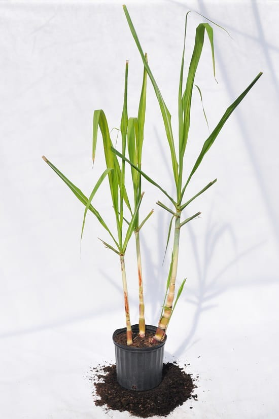 How to Grow Sugarcane in Pots 2