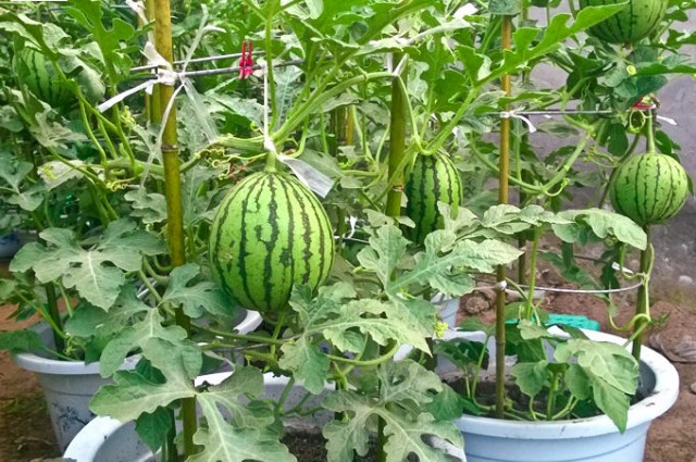 Growing Watermelon In Containers How To Grow Watermelon In Pot Vertically Balcony Garden Web
