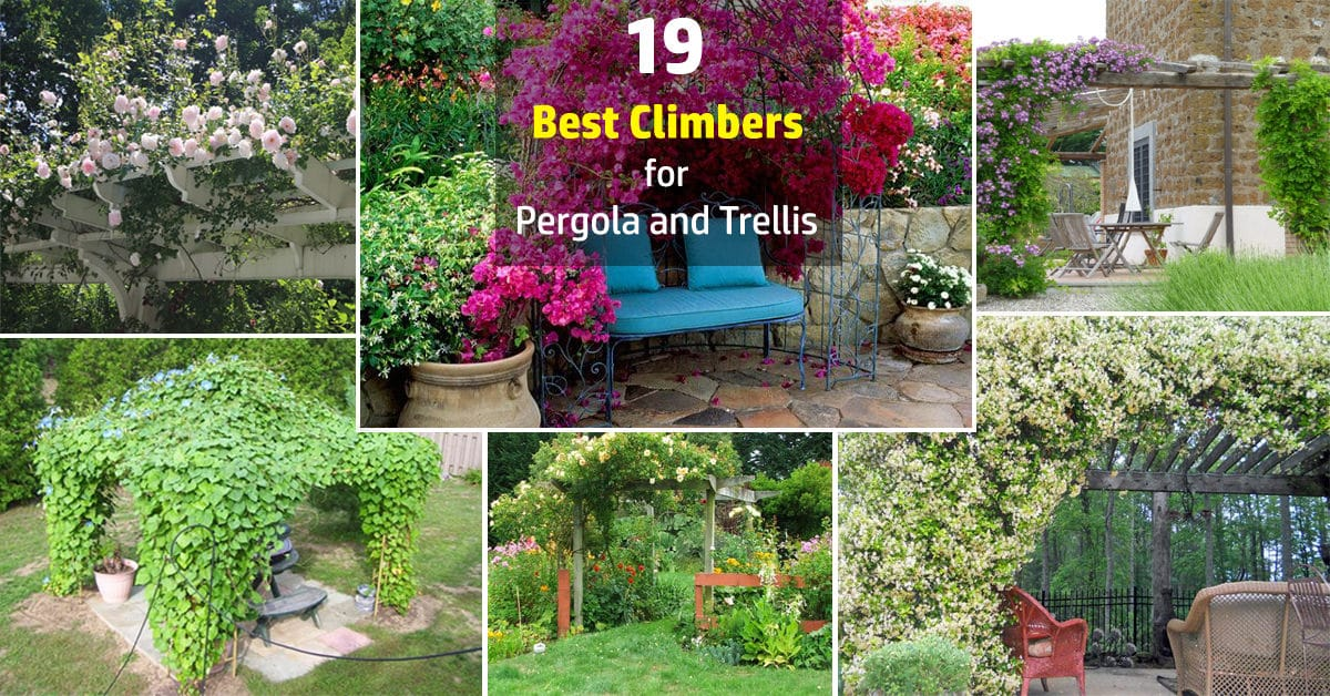 19 Best Pergola Plants | Climbing Plants for Pergolas and Arbors | Balcony  Garden Web - 19 Best Pergola Plants Climbing Plants For Pergolas And Arbors