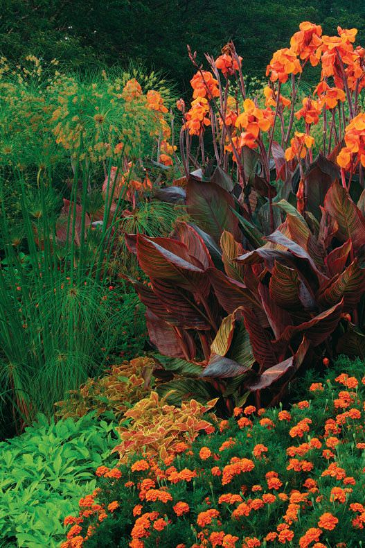 canna in tropical garden