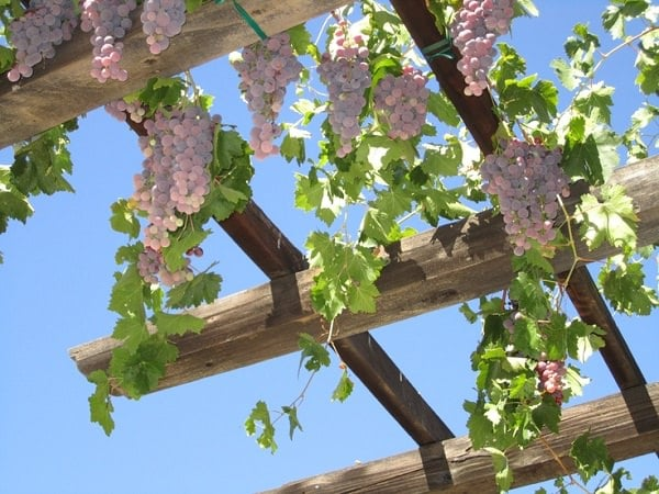 grape vine of pergola