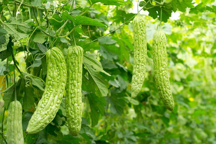 how to grow bitter melon (Bitter Gourd)