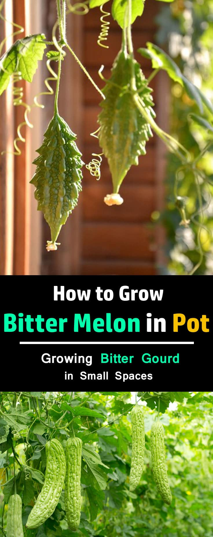 Learn how to grow bitter melon. Growing bitter gourd is easy. This healthy vegetable grows up quickly and fruits productively. You can also grow it in pots.