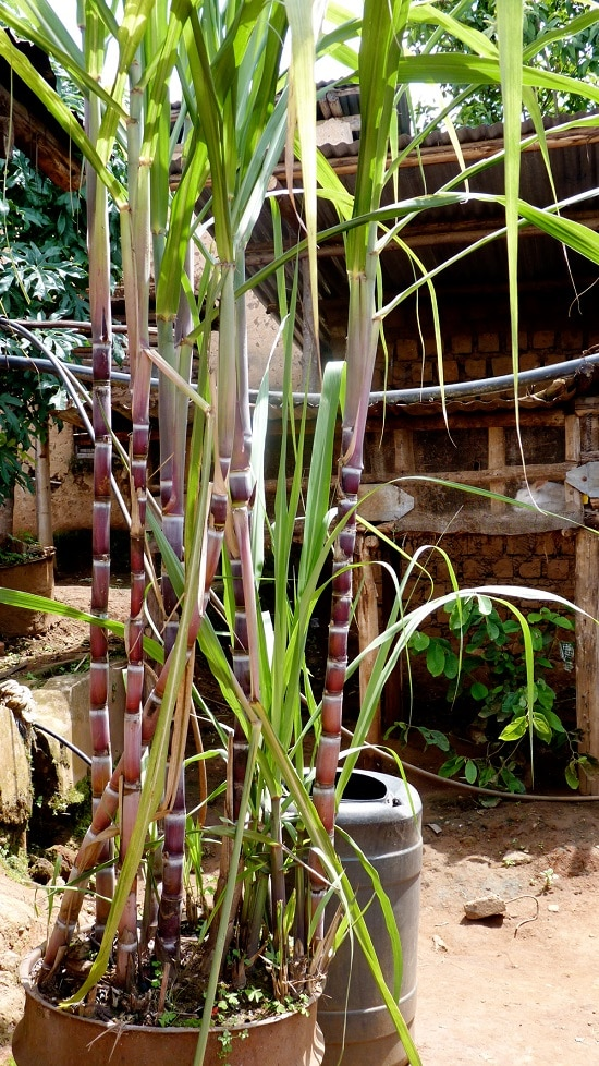 How to Grow Sugarcane in Pots