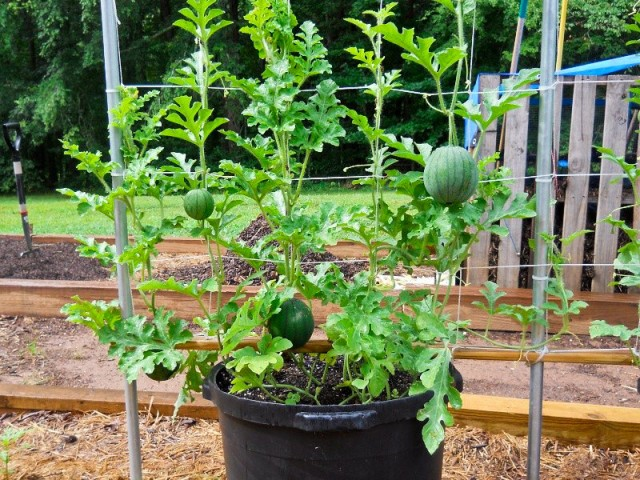 growing watermelon in pot