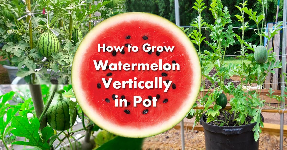 Growing Watermelon In Containers How To Grow Watermelon In Pot Vertically