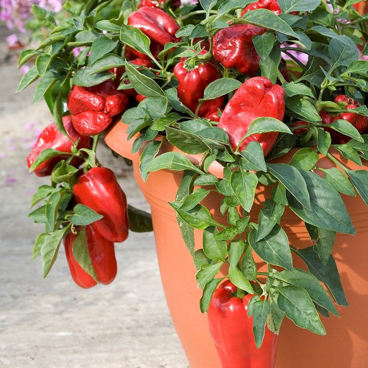 Growing vegetables in containers? Learn about the best and most Productive Vegetables to Grow in Pots to have the bountiful harvest this growing season.