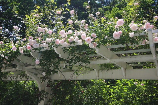 rose on pergola - 19 Best Pergola Plants Climbing Plants For Pergolas And Arbors
