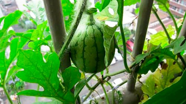 Watermelon plant on a balcony