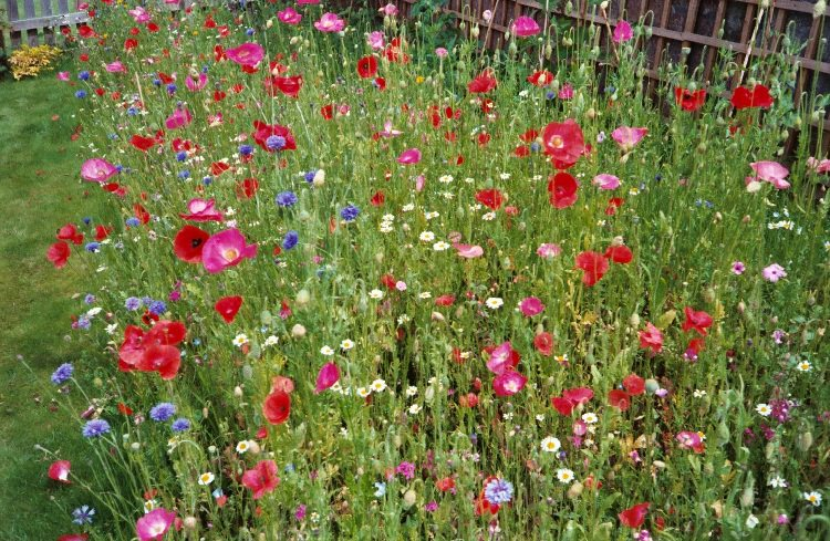 wild flowers for lazy gardeners