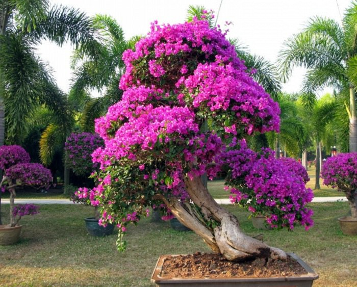 Bougainvillea bonsai 2