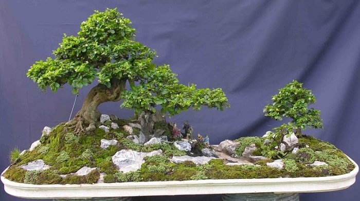 Fukien tea bonsai 1