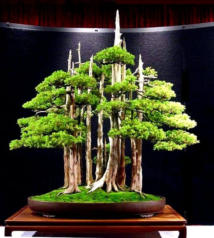 Juniper bonsai 1