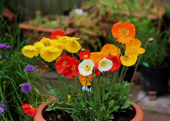 Balcony Garden Web & Growing Poppies In Pots | Care \u0026 How To Grow Poppies In ...