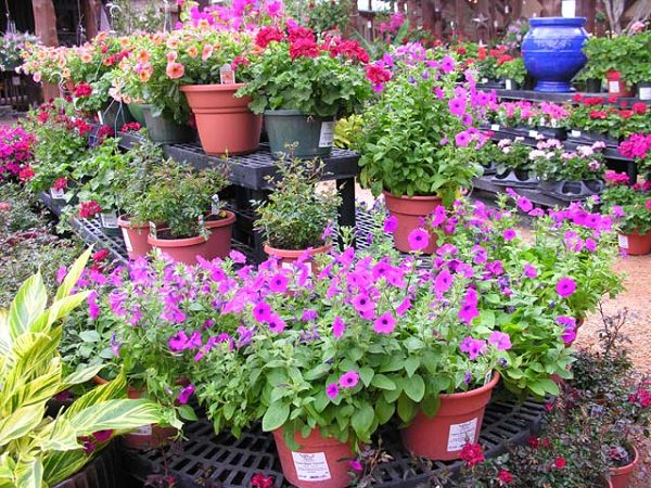 Tips for buying plants from garden center (7)