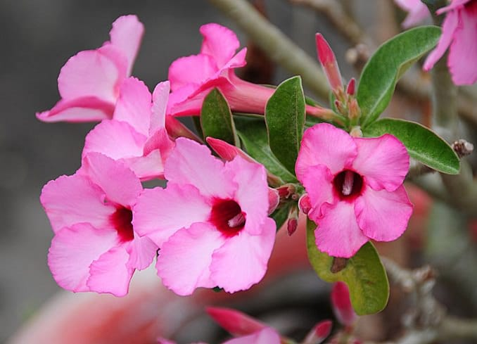 24 best drought tolerant plants that grow in lack of water balcony also known as desert rose adenium is a tropical succulent plant that requires occasional watering adenium needs full sun and heat to thrive however mightylinksfo