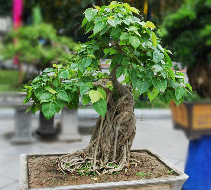 22 Best Trees For Bonsai | Best Bonsai Plants | Balcony