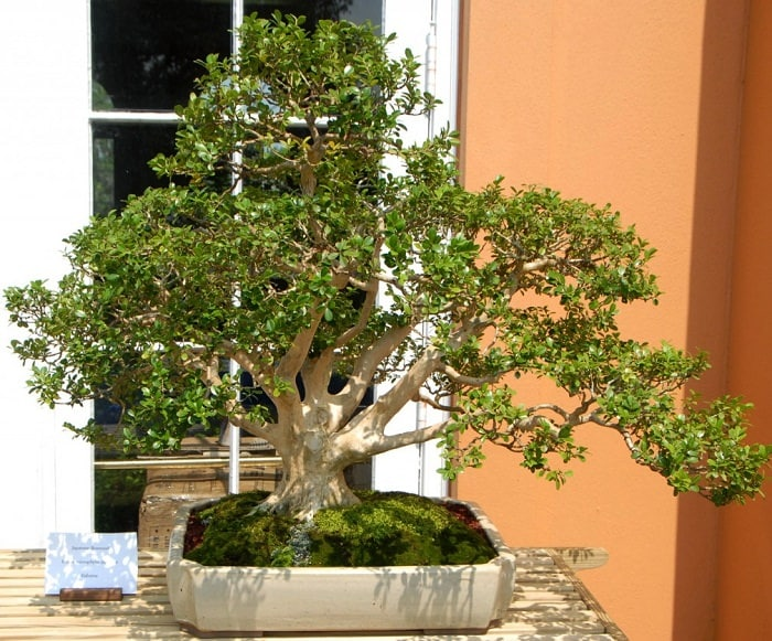 boxwood-bonsai