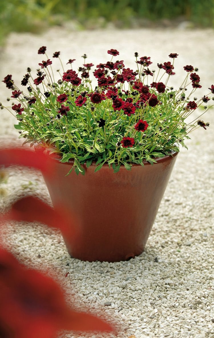 Chocolate Cosmos Adorn Itself With Amazing Deep Brown Or Colored Flowers That Emit A Smell Of Rich This Perennial Grows Up To 30 Inches
