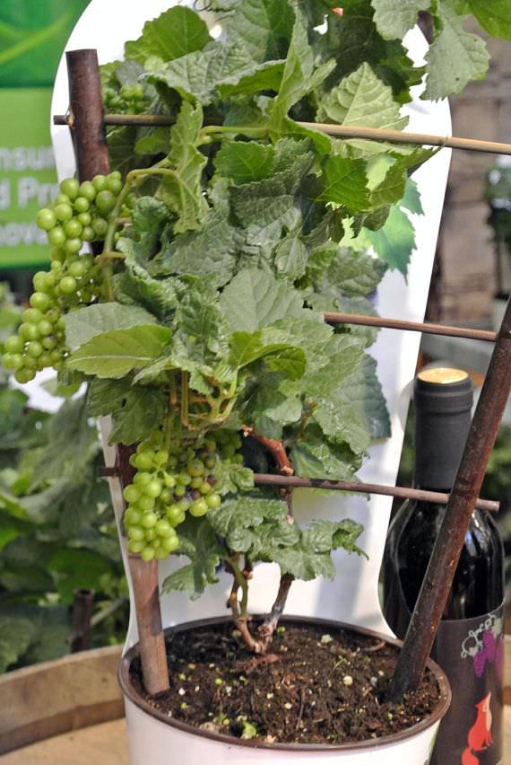 Growing Grapes In Containers How To Grow Grapes In Pots Care
