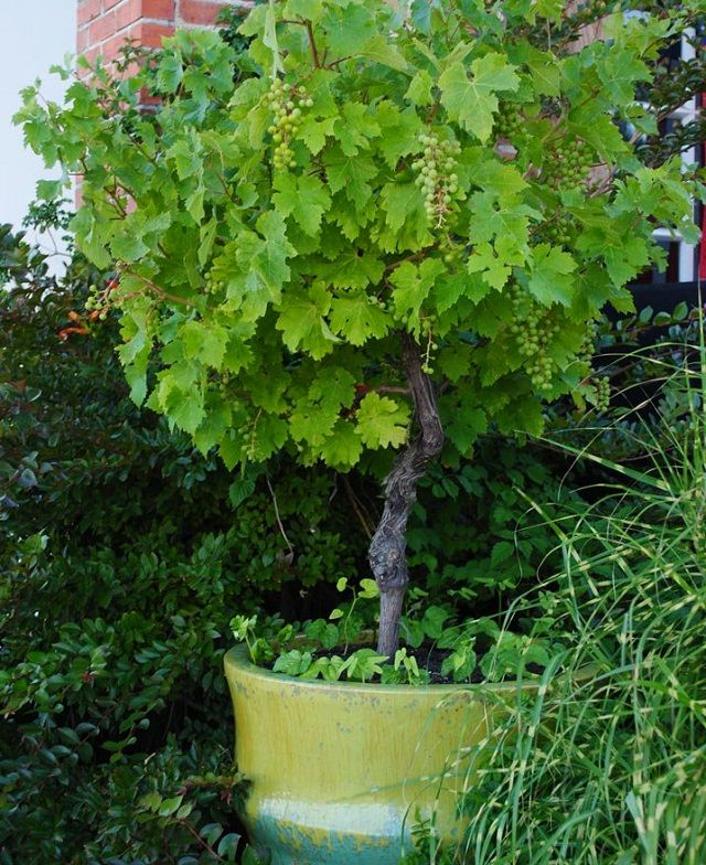 Learn how to grow grapes in pots. Growing grapes in containers is not very complicated though it requires slight care and maintenance. Check out