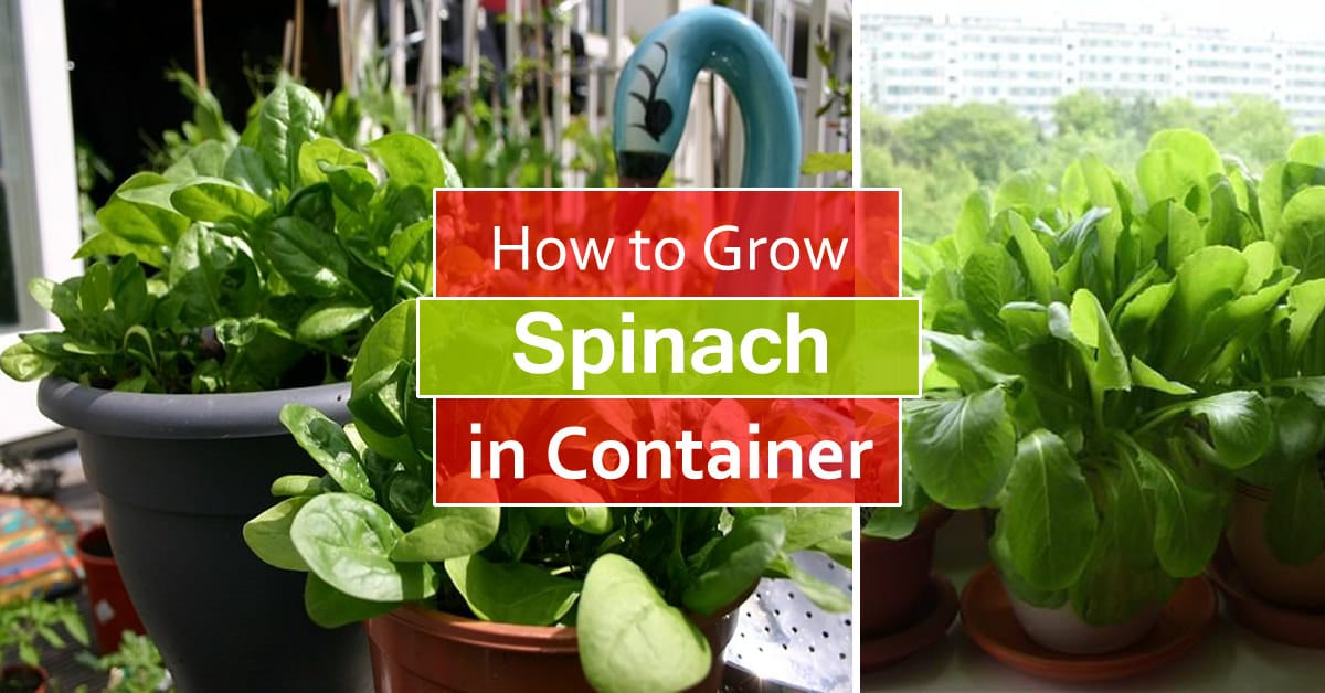 How Grow Spinach Pots Growing