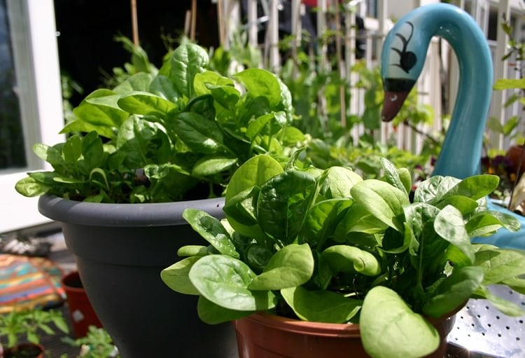 how to grow spinach in pots (1)
