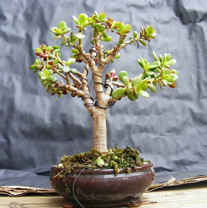 jade bonsai 1