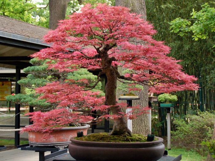 22 Best Trees For Bonsai Best Bonsai Plants Balcony Garden Web