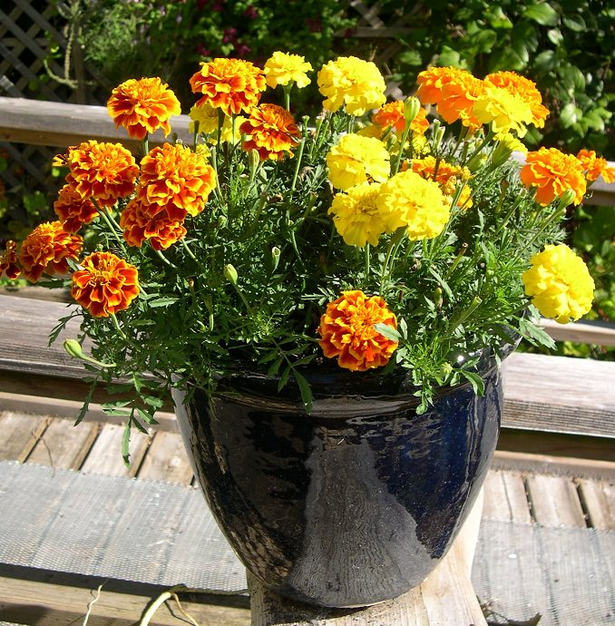 marigold in pot