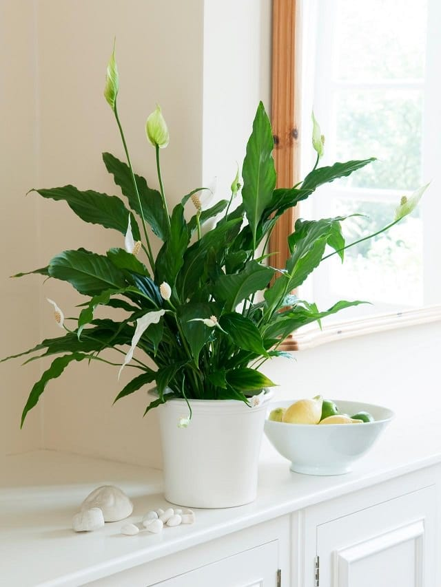peace lily on kitchen